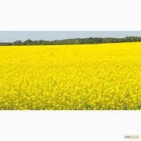 Ріпак озимий(насіння) Шелби