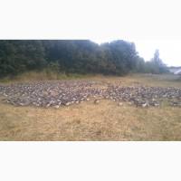 Продам гусей породы Большая серая живым весом