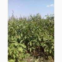 Продам саджанці буковинського горіха