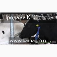 Племенные Нетели молочного направления с доставкой продуктивность от 6000 за лактацию
