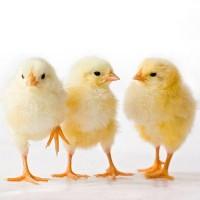 Інкубаційні яйця бройлерів, курчата курей бройлерів. Інкубаційне яйце купити