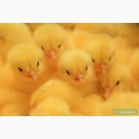 Цыплята бройлера суточные кобб 500, росс 708 и комбикорм для них