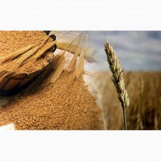 Куплю разноклассовую пшеницу, ячмень, кукурузу, семя подсолнечника, сою, Днепр