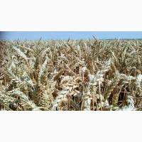 Продам Озиму Пшеницю сорт Дарунок Поділля Еліта 2018року