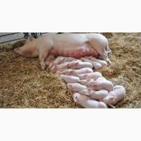 Продам свиней оптом, живой вес