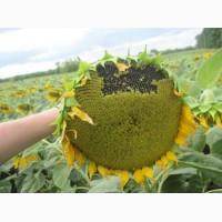 Семена подсолнечника Солтан