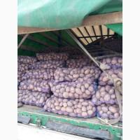 Продам картофель, сорт Словянка, скарб и Белла Росса