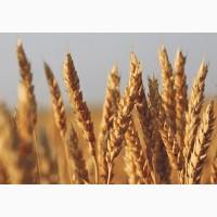 Закупка пшениці некондиційної, з сажкою, некласної