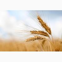 Насіння озимої пшениці Шестопалівка, урожайність 70-85 ц/га