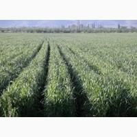 Семена озимой пшеницы АНТАРА