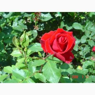 Продам саженцы розы Super Star