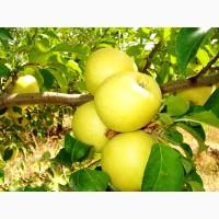 Продам дуже красиві яблука (Голден Делішез) оптом