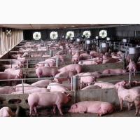 Закупаем свиней свиноматок по всей Украине