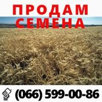 Семена ярового ячменя Вакула элита-8500грн/тон САМЫЙ УРОЖАЙНЫЙ СОРТ УКРАИНЫ