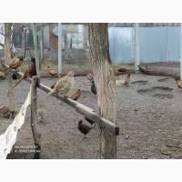 Продам фазани. Сім#039;ї, роздріб.Мисливські, румунські