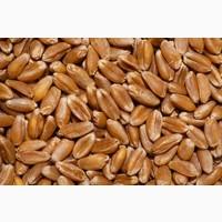 Купим твёрдую пшеницу ДУРУМ (самовывоз)