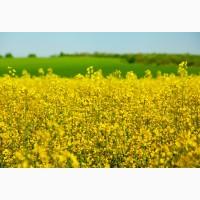 Ріпак озимий Блекстоун урожай 2020
