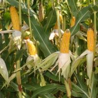 Насіння кукурудзи Артуро(ФАО 230) від компанії Saatbau