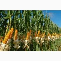 Закупаем кукурузу с поля