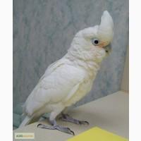 Какаду Гоффина - ручные птенцы выкормыши