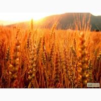 Куплю жито (рожь)