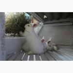 Продаются кролики породы Большое Светлое Серебро (БСС), Новозелландская Белая (НЗБ)