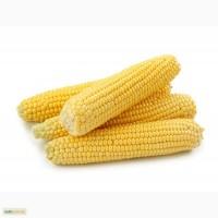 Продам семена сахарной кукурузы Мегатон F1