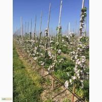 Продаж яблук елітних сортів урожаю 2016 року