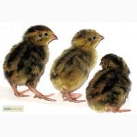 Перепела селекционный молодняк - три породы