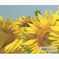 Продаю семена сортов подсолнечника ШТРУБЕ (Strube) гибрид ИМИТОП (Imitop) Акция