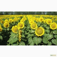 Семена подсолнечника и Кукурузы монсанто