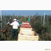 Продається яблуневий сад у Волинській області