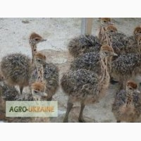 Молодняк страуса
