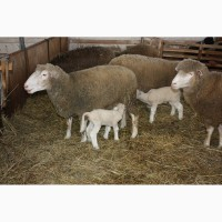 Фермерське хоз-во продає овець та ягнят живою вагою недорого