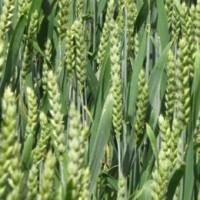 Семена озимой пшеницы Колониа, урожай 2017 года от компании Дер Трей