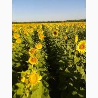 Продам семена подсолнечника гибрид ДОЗОР F1 105 дней. Економ Стандарт Екстра