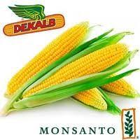 Семена кукурузы от мирового лидера Монсанто, Monsanto; DKC3511, DKC3939