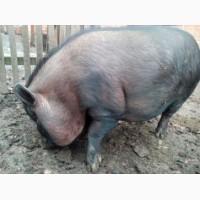 Продам Льоху В#039;єтнамської вислобрюхої свині