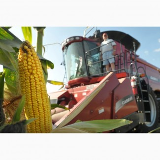 Семена канадской кукурузы Солар Сидс, Джи Хост
