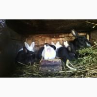 Продам кролів