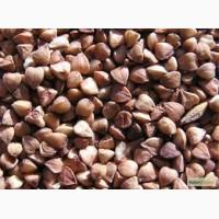 Продам насіння гречки сорту Арно, 2-га репродукція