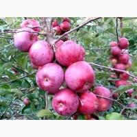 Продам яблука сорту Спартан, Монтуан, дуже якісні, красиві. з власного саду