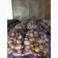 Картофель урожай этого года