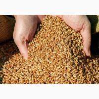 Продам озиму пшеницю