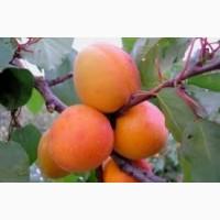 Продам саджанці абрикоса Маріупольський ранній