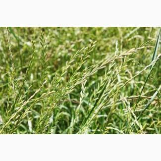 Продам семена райграса пастбищного и газонного типов