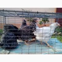 Продам курчата підрощені породи ДОМІНАНТ
