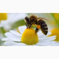 Продам пчеломатки Карпатка 2021 года