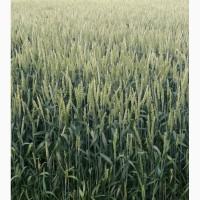 Пшеница канадская сорт Toleda ( Озимая)