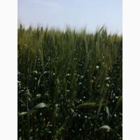 Насіння озимої пшениці Лісова Пісня, урожайність 80-82 ц/га